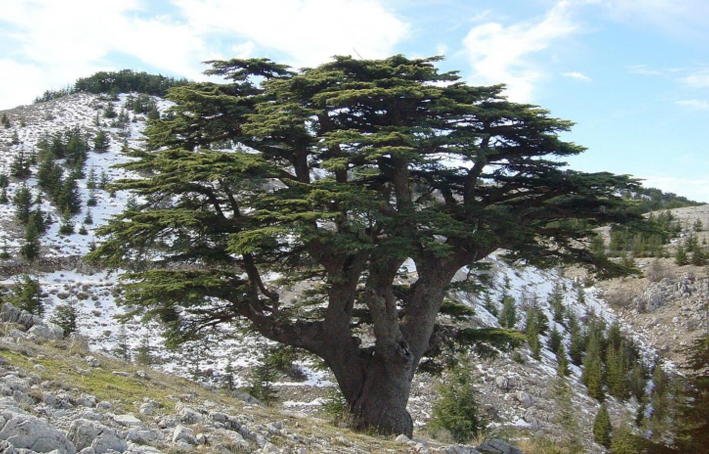 Facts about Cedars of ...