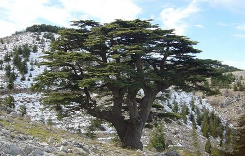 Facts about Cedars of God in Lebanon