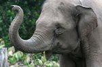 يستطيع الفيل شم رائحة الإنسان على بعد ما يقارب 500 متر.